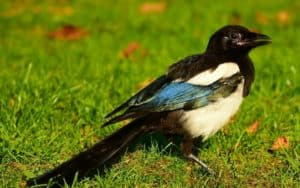 How to keep magpies away