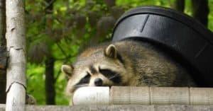 Keep Raccoons Away From Your Campsite, Trashcans, & Garden