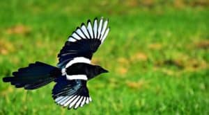 how to keep magpies out of your yard (1)